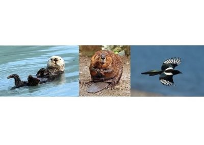 2018-07-15 The Gospel According to Otters Beavers and Magpies